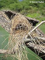 0701-1102  Social Flycatcher Nest (Vermilion-crowned Flycatcher), Enclosed Cup Nest Built Above Water, Belize River in Belize, Myiozetetes similis  © David Kuhn/Dwight Kuhn Photography