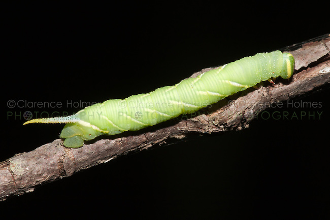Twin-spotted Sphinx Moth (Smerinthus jamaicensis) - caterpillar (larva), Ward Pound Ridge Reservation, Cross River, Westchester County, New York
