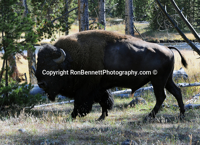 """American bison (Bison bison) is North American species of bison known as American buffalo, buffalo, bison, ox-like, bison or buffalo roamed grasslands of North America in massive herds, Bison, Buffalo, Montana, state located in the Western United States, Rocky Mountains, """"Treasure State,"""" """"Big Sky Country,"""" """"Land of the shining Mountains,"""" """"The Last Best Place,"""" Glacier National Park, Battle of Little Bighorn, Yellowstone National Park, Fine Art Photography by Ron Bennett, Fine Art, Fine Art photo, Art Photography,"""