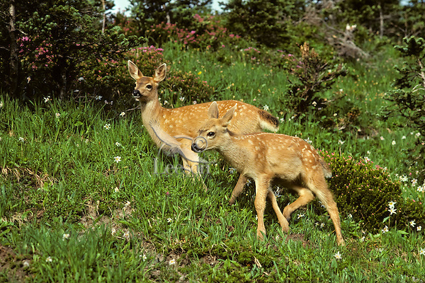 Two Black-tail Deer fawns among Avalanche Lilies. Pacific NW July.