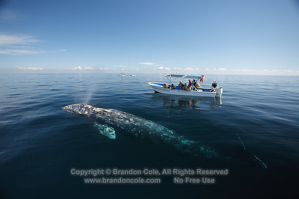 pr7012-D. Gray Whale (Eschrichtius robustus) surfaces to breathe alongside whale-watching boat with tourists. Magdalena Bay, Baja, Mexico..Photo Copyright © Brandon Cole. All rights reserved worldwide.  www.brandoncole.com..This photo is NOT free. It is NOT in the public domain. This photo is a Copyrighted Work, registered with the US Copyright Office. .Rights to reproduction of photograph granted only upon payment in full of agreed upon licensing fee. Any use of this photo prior to such payment is an infringement of copyright and punishable by fines up to  $150,000 USD...Brandon Cole.MARINE PHOTOGRAPHY.http://www.brandoncole.com.email: brandoncole@msn.com.4917 N. Boeing Rd..Spokane Valley, WA  99206  USA.tel: 509-535-3489