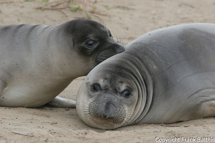FB-M15  Elephant seal weaners