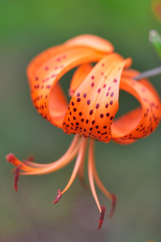 Tiger lily. Hughes Water Garden. Oregon