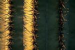 Morning light on saguaro (Carnegiea gigantea), Picacho Peak State Park, Arizona