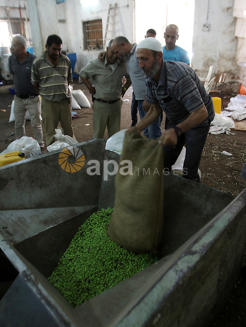 A Palestinian man sorts olives cleaned by a machine before pressing it to be made into oil at an olive press in the West bank city of Nablus October 16, 2016. Photo by Nedal Eshtayah