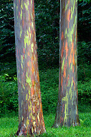 Painted Eucalyptus trees. Keahua Arboretum. Kauai, Hawaii