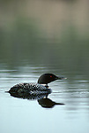 A Common Loon swims through peaceful waters in Grand Teton National Park.