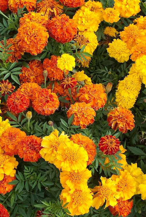 marigold annual flowers stock photos  images  plant  flower, Beautiful flower