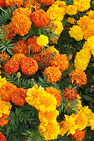 Marigolds Tagetes (Afro-French marigold) Zenith Mixed