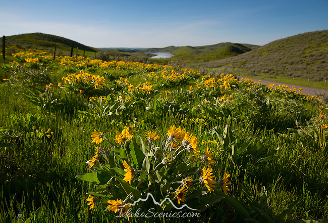 IDaho, Western, Washington county, Midvale.  Arrow-leaved balsmaroot cover the hillsides near Mann Creek Reservoir in spring.
