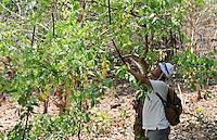 INDIA Chhattisgarh, Prof. Anil Gupta and NGO SRISTI discover on the walking tour Shodh Yatra local knowledge, healing plants and inventions in the tribal villages of Bastar / INDIEN Chhattisgarh , Prof. Anil Gupta und sein Team der NGO SRISTI erforschen lokales Wissen, Biodiversitaet, Heilpflanzen und Erfindungen der lokalen Bevoelkerung auf der Shodh Yatra einer Wandertour durch Adivasi Doerfer in der Bastar Region