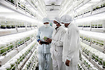 """In Jain's laboratory, banana cuttings are harvested from a mother plant selected for its vigor and then incubated for nine months in jars and under climate-controlled greenhouses before joining the plantations of the region. For leaders Of this firm, the solutions<br /> By biotechnology will allow tomorrow to feed an increasing Indian population (1.3 billion today, around 1.66 billion in 2050, ahead of China).<br />Jalgaon, an agricultural town nicknamed """"banana city"""", holds the world record of productivity of banana plans. The district is famous for its fruits and vegetables, produced in particular under the aegis of the multinational Jain, specialist in irrigation pipes as well as cultures in laboratory."""