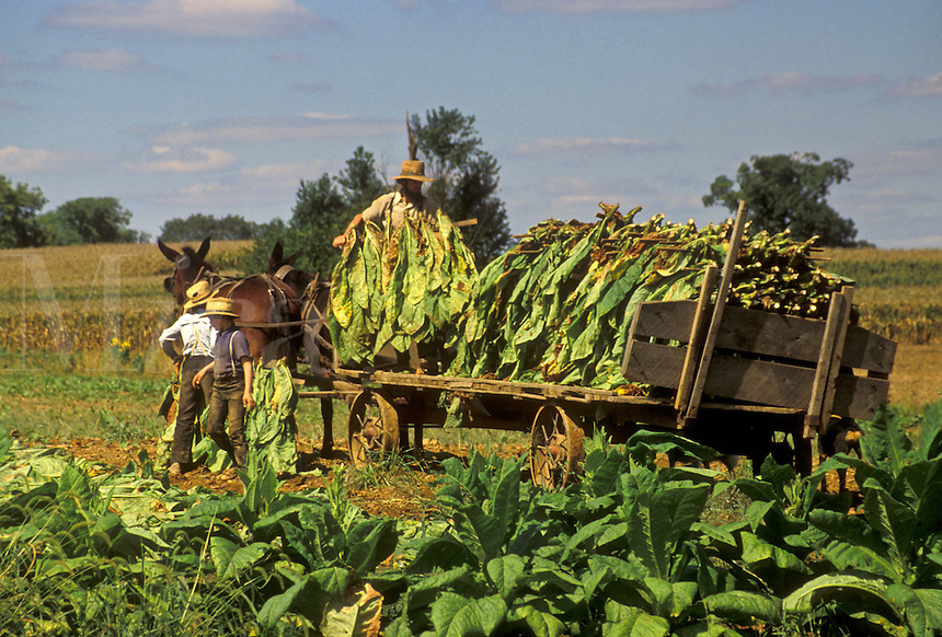 AJ3043, Amish, tobacco, farmer, Amish country, Lancaster County, Pennsylvania, Pennsylvania Dutch Country, Amish farmers harvest a tobacco crop with a team of mules in Lancaster in the state of Pennsylvania.