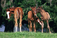 Four arabian foals playing in green pasture. Horses, Equine, animals. #303 T&C 4 foals.