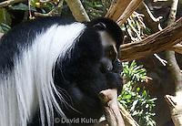 0304-1102  De Brazza's Monkey, Cercopithecus neglectus  © David Kuhn/Dwight Kuhn Photography