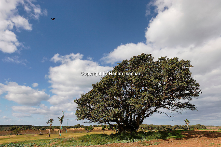 Sycamore tree in Ga'ash, Sharon region, Israel<br />
