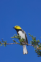 Golden-cheeked Warbler, Dendroica chrysoparia, male on Mountain Cedar (Juniperus ashei), Uvalde County, Hill Country, Texas, USA