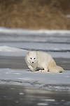Arctic fox (Alopex lagopus) walking on the ice.