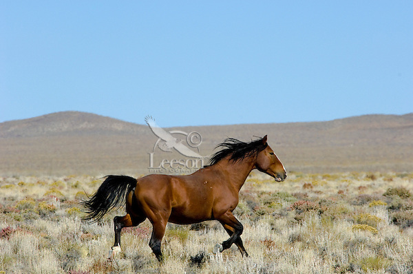 Wild Horse stallion trotting across desert in central Nevada.  Fall