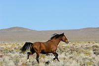 Wild Horse stallion trotting across desert in central Nevada.  Fall