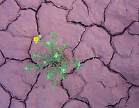 V00169M.tif   Yellow flower growing in cracked mud. Monument Valley, Arizona