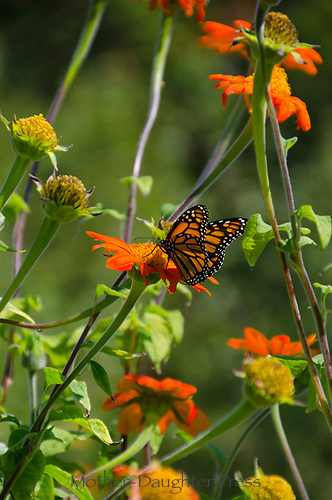 Monarch butterfly perching with wings out on Mexican sunflowers in summer light in Pineland gardens, New Gloucester Maine, USA