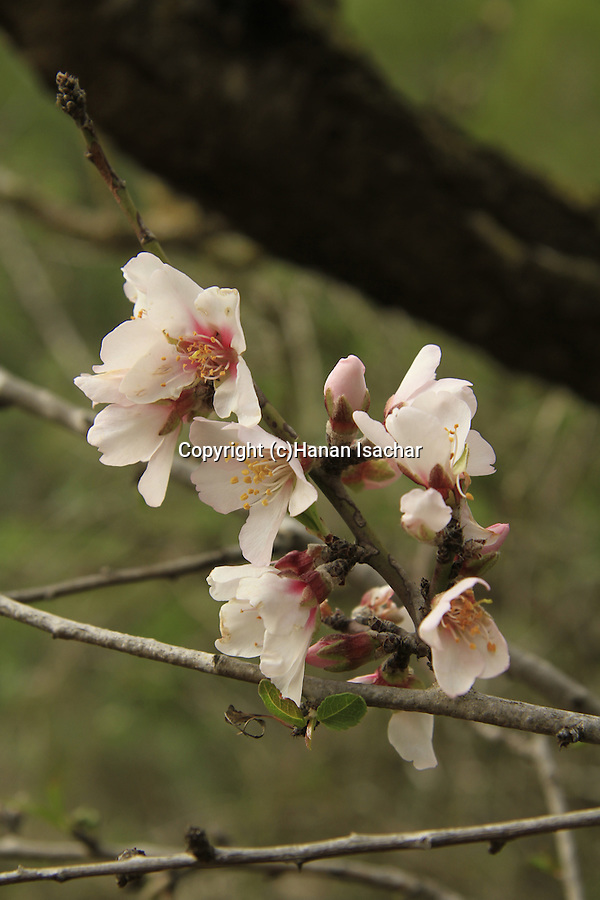Israel, Jerusalem mountains, an almond tree in Ein Boker