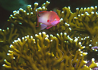 Fairy Basslet in the Red Sea