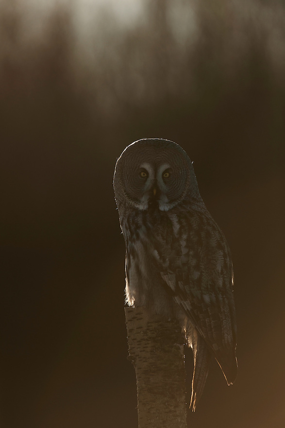 WILD GREAT GREY OWL; STRIX NEBULOSA; HUNTING; PREDATOR; WINTER; FEBRUARY; COLD; BIRD OF PREY; EUROPE; OULU, FINLAND