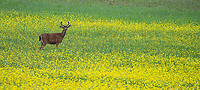 A Columbian black-tailed deer pauses while grazing in a meadow on San Juan Island.