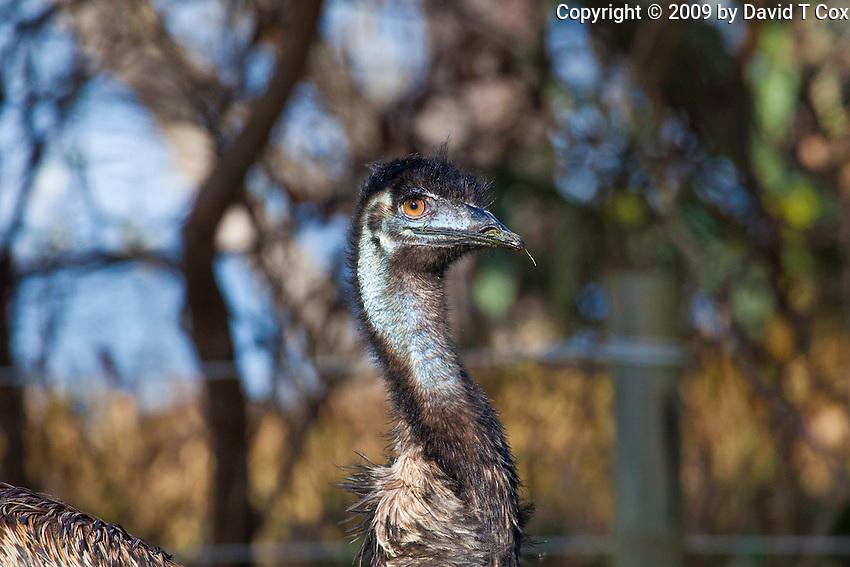 Emu, Yuragir NP, NSW, Australia