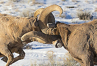 Decisive moment, two rams collide while fighting for the ewes in Jackson Hole Wyoming
