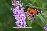 03536-04809 Monarch Butterfly (Danaus plexippus) on Butterfly Bush (Buddleia davidii) Marion Co., IL