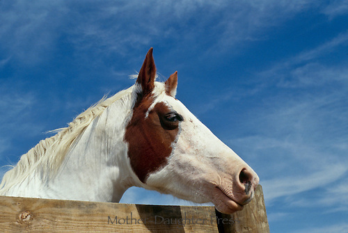 Paint quarter horse looking over fence