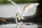 Pictured:   A pair of egrets battle it out on the water as they attempt to mark their territory.<br /> <br /> The two birds viciously stabbed their sharp beaks into one another during the early morning clash.<br /> <br /> Amateur photographer Simon Barrett saw the egrets - who were about one year old - grappling with each other at Tophill Low Nature Reserve, Yorkshire. SEE OUR COPY FOR FULL DETAILS.<br /> <br /> Please byline: Simon Barrett/Solent News<br /> <br /> © Simon Barrett/Solent News & Photo Agency<br /> UK +44 (0) 2380 458800