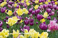 63821-22512 Yellow and purple tulips, Chicago Botanic Garden, Glencoe., IL