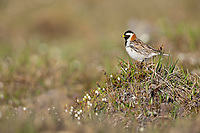 Lapland longspur on the summer tundra, Utukok uplands, National Petroleum Reserve Alaska, Arctic, Alaska.