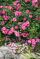 Dendranthema Pink Ice and shrub roses Rosa, pink color theme of roses and iceplant