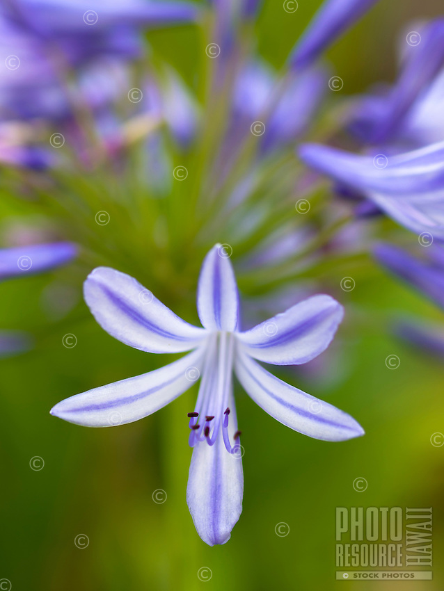 A close-up of a purple flower 's petals and stamen against a busy purple and green background, Big Island.