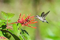 An endemic female Bee Hummingbird (Mellisuga helenae) in flight, visiting flowers of the Firebush tree (Hamelia patens). Cuba.