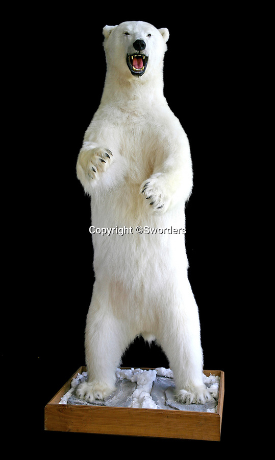 BNPS.co.uk (01202 558833)<br /> Pic:  Sworders/BNPS<br /> <br /> A giant stuffed polar bear has sold at auction for over £24,000.<br /> <br /> The white taxidermy Canadian polar bear, which is mounted on a rocky base, measures almost 8ft.<br /> <br /> It sparked fervent bidding when it went under the hammer at Sworders, of Stansted Mountfitchet, Essex.<br /> <br /> The bear, which dates from the late 20th century, belonged to a collector from Somerset.