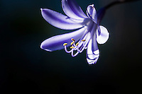 Agapanthus -  purple petals and stamen.