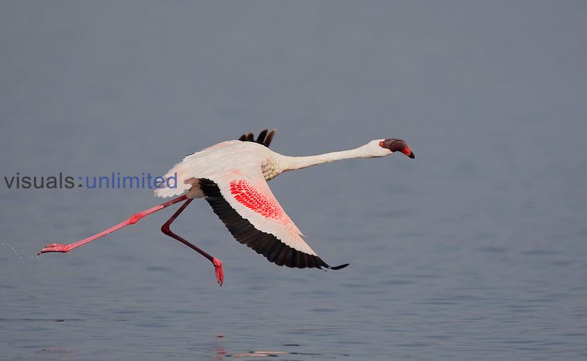 Lesser Flamingo (Phoenicopterus minor) running for take-off, Kenya, Africa.