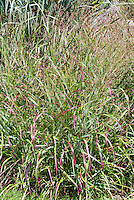 Panicum virgatum 'Shenandoah' switch grass, ornamental grass in summer bloom