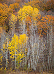 Dunn County, WI<br /> Late fall color in a forest with aspen and oak trees in Gilbert Creek Valley near Menomonie