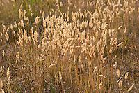 Gewöhnliches Ruchgras, Ruch-Gras, Anthoxanthum odoratum, Scented Vernal Grass, Flouve odorante