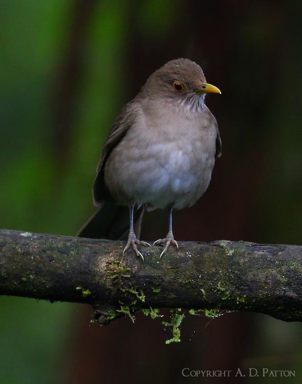 Ecuadorian thrush