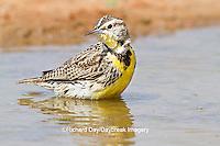 01627-00401 Eastern Meadowlark (Sturnella magna) bathing Starr Co., TX