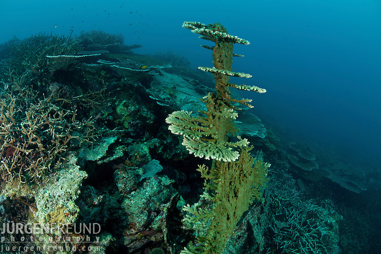 Fallen acropora coral branching out and starting to grow horizontally again.