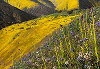 Caulanthus inflatus, Desert candle; California native wildflower; Carrizo Plain National Monument, California